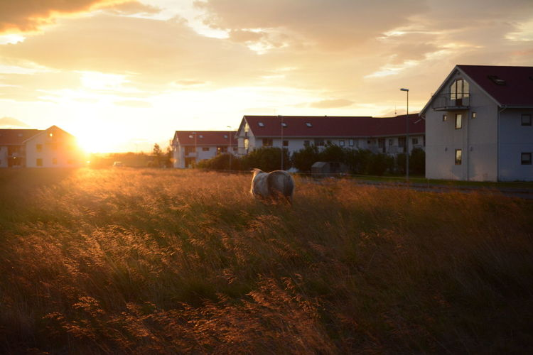 Built Structure House Building Exterior Iceland Horse Horses Sunset Tall Grass Outdoors Sky Lonesome Rural Scene No People The Way Forward Journey Standing