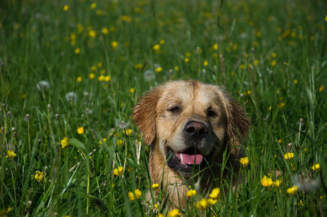 Grass One Animal Animal Nature Animal Wildlife No People Portrait Outdoors Animals In The Wild Animal Themes Beauty In Nature Close-up Nature Pets Dog Dogs Doglover Dogoftheday Dogslife Golden Retriever Golden Retriever Lover Retriever Retrieveroftheday Retrieversofinstagram