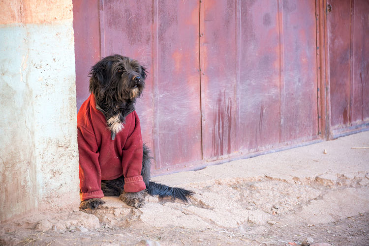 Black dog wearing a red sweater in Tupiza, Bolivia Andean Andes Bolivia Breed Canine Color Colorful Country Countryside Desert Destination Dog Formation Hills Landscape Looking Mix Mutt Pet South America Stray Thin Travel TUPIZA Valley