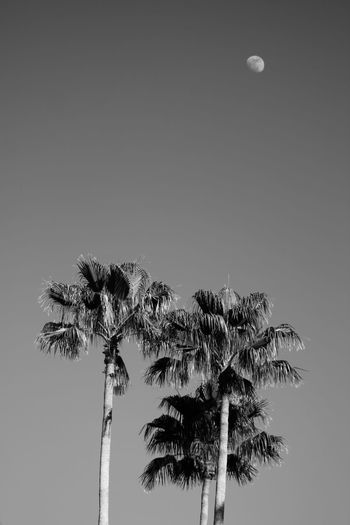 Palm trees with