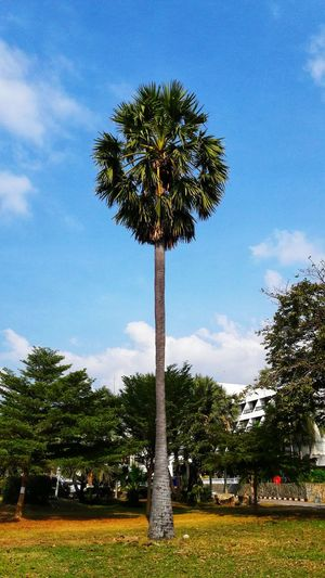 Sugar palm Sugar Palm Tree Tree Palm Tree Sky Cloud - Sky Day Growth Outdoors