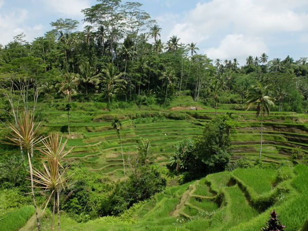 Rice terraces of Tegalalang, Indonesia. Bali Beauty In Nature Cloud - Sky Grass Green Color Growth INDONESIA Landscape Nature No People Palm Tree Plant Rice Rice Field Rice Paddy Rice Terraces Roadtrip Scenics Sky Tegalalang Tranquil Scene Tranquility Tree Ubud Water