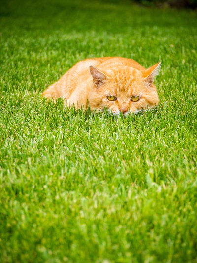 Portrait of lion relaxing on grass