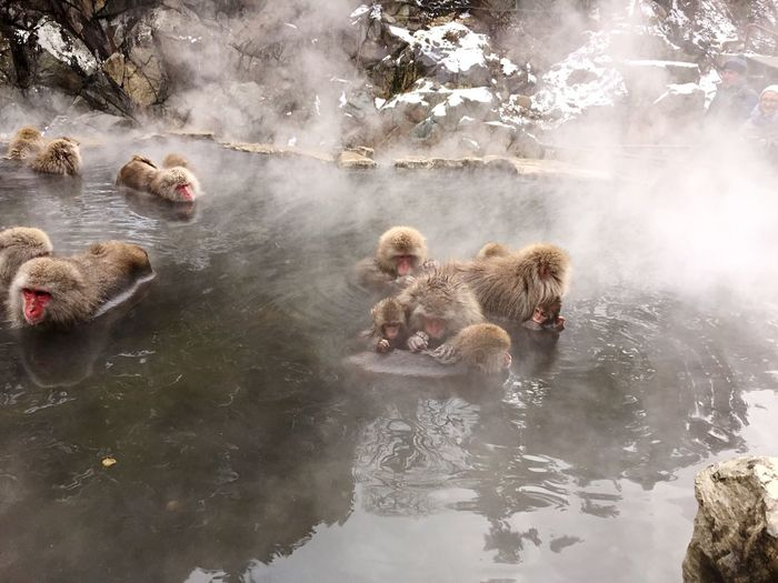 Japanese Macaques Bathing In Hot Spring
