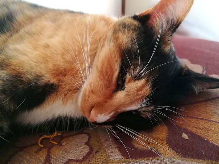 Calico Cat Cat Close-up Animal Head  Cute Pets Domestic Cat Domestic Animals One Animal Indoors  Animal Themes Mammal Feline Lying Down No People Day Comfort Relaxation Love Cat Zabuton