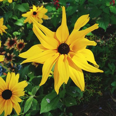 Flower Petal Yellow Fragility Flower Head Beauty In Nature Nature Freshness Plant Growth Pollen Black-eyed Susan Outdoors Day No People Close-up Springtime Blooming