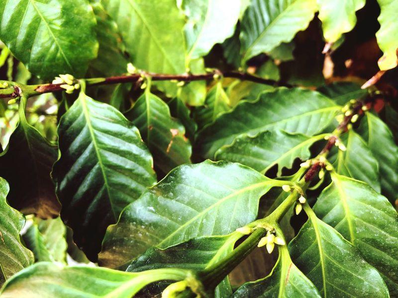 Arabica coffee flowers Arabica Coffee Coffee Flowers Coffee Tree Coffee Leaves Green Color Leaf Nature Growth No People Close-up Plant Outdoors Freshness