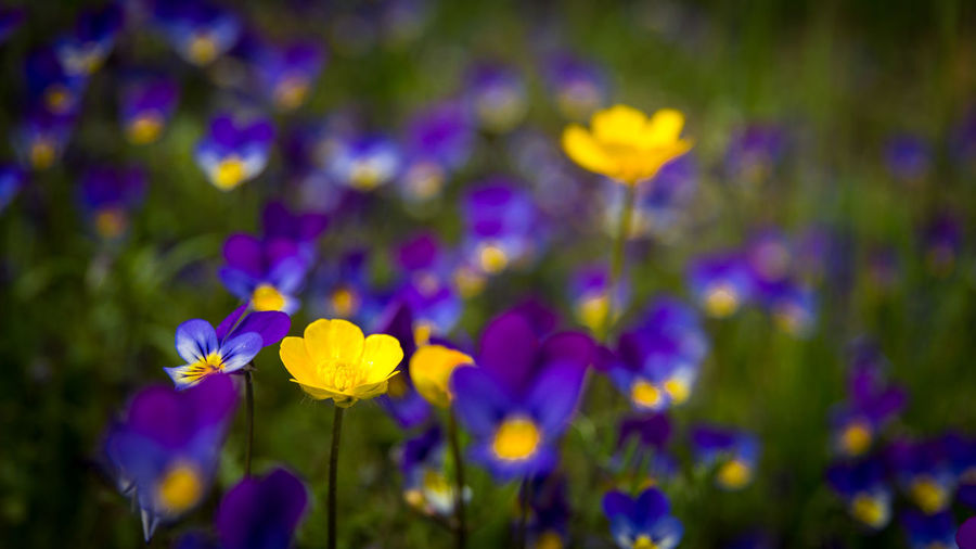 Buttercup and purple, Bismo, Norway Bismo Buttercup Buttercups Crowfoots Flower Flower Head Flowers Nature Nature Photography Nature_collection Norway Purple Purple Flower Ranunculus Wild Flowers Yellow Yellow Flower