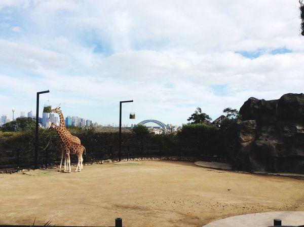 Giraffes Sharissegaiyer EyeEmNewHere Zoo Animals  Day Outdoors Nature No People Sky Zoo EyeEmNewHere