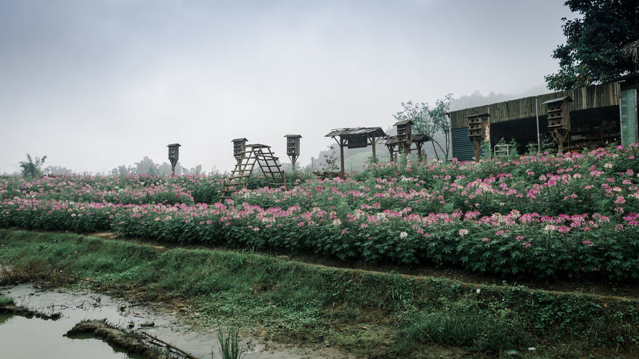 Flower Flowering Plant Plant Growth Nature Beauty In Nature Sky Day Freshness No People Architecture Outdoors Vulnerability  Fragility Building Exterior Field Built Structure Land Clear Sky Tranquility Purple Flowerbed Sapa Vietnam