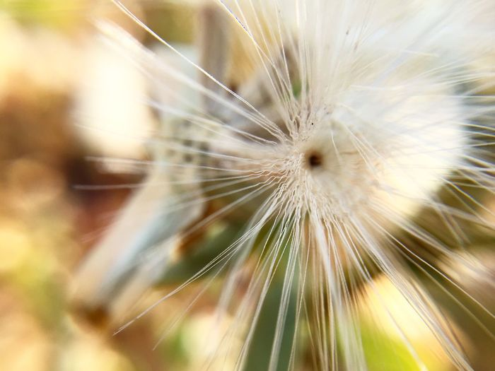 Macro Beauty Check This Out IPhoneography Photographer Nature_collection Nature Photgraphy Whattheeyecannotsee Dandelion