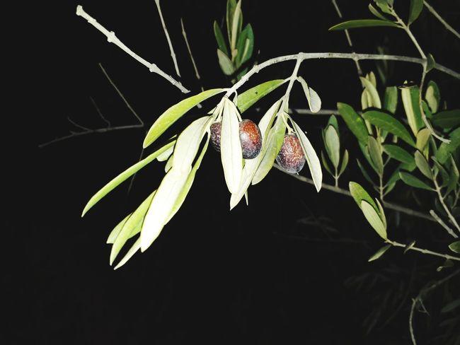 arbre de huil d'olive Plant Nature Fragility Leaf Flower