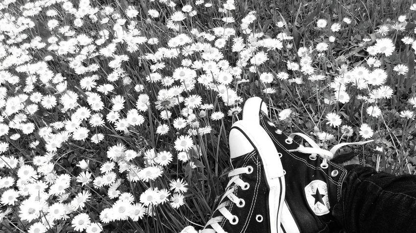 Converse Daisies