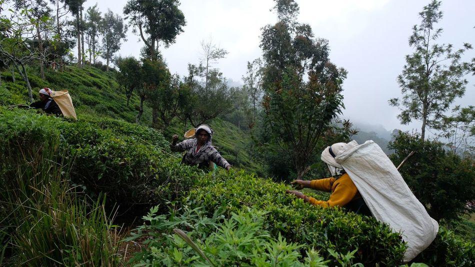 Harvesting Tea in Ceylon TeaLeaves Tea Ceylon Tea Tree Nature Growth Day Outdoors