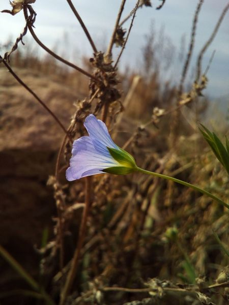I met this single linen plant, green and blooming among the dry plants... Flower Linen Plant Fragility Blue Colour Blue Nature Close-up Beauty In Nature Day Outdoors Growth Autumn October Linum