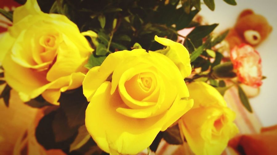 Background Photography Background For Greeting Card Background For Quotes Flower Petal Flower Head Rose - Flower Yellow Fragility Close-up Bouquet Teddy Bear Courtship Love Bouquet Of Flowers Flowers In A Vase Bouquet Of Roses Bouquet Of Roses And Teddy Bear Yellow Roses Close-up Close Up Photography Close Up Shot Yellow Roses