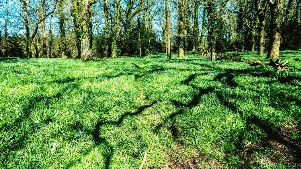 Sea of blue and shadows Bluebells Plant Green Color Tree Grass Land Day Growth Nature Tranquil Scene Outdoors Beauty In Nature