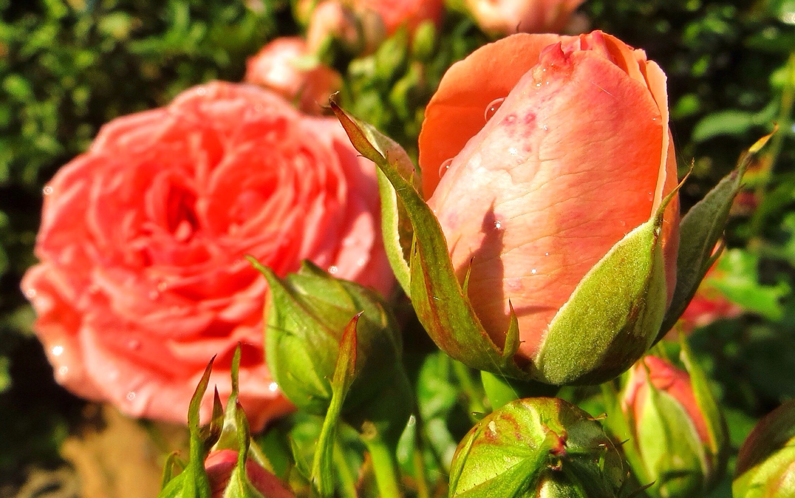flower, growth, freshness, fragility, plant, petal, close-up, beauty in nature, focus on foreground, nature, bud, leaf, flower head, red, blooming, pink color, stem, new life, green color, beginnings, day, in bloom, outdoors, no people, selective focus, botany, growing, blossom, tranquility
