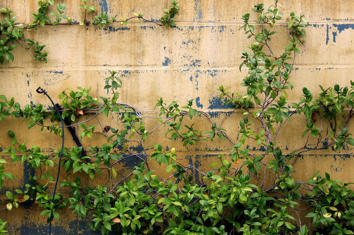 Creepers Front Or Back Yard Garden Growing Growth Ivy Landscape_Collection Landscape_photography Planted Wall Stellenbosch Textures And Surfaces The Cape Vinyards Wall Wall Wall Textures Wine Farm