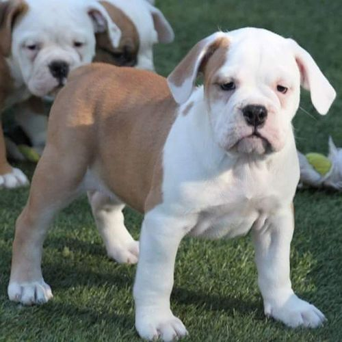 Last female off Sydney and Rocky litter. 8 weeks old, de-wormed, updated on vaccines and ready for the perfect home :-) Please check our website for individual puppy prices and all other necessary info. Oneofakindbulldogs Bulldogs Bulldog Oldeenglishbulldogges oldeenglishbulldogge oldenglishbulldogs oldenglishbulldog premierbreeder oeb oebpuppies puppiesforsale bulldogges keepitbully staybully bullylife SanDiego SoCal californiadreamin SD lovemylife dogoftheday follow4follow bulldogpuppies toocute victorianbulldogs bullyinstagram bullyinstafeature