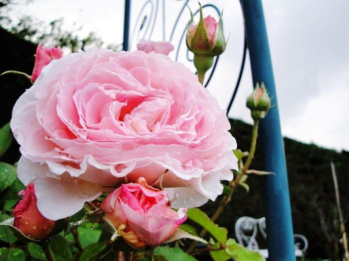Promenade Dominicale Nature Photography Roses🌹 Du Jardin Flower Pink Color Rose - Flower Flower Head Freshness No People Close-up