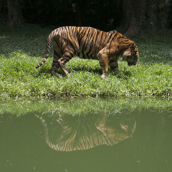 Asian Tiger Asiantiger ByTheRiver Harimau Malaysia Malaysian Tiger Malaysiantiger Reflection Tiger