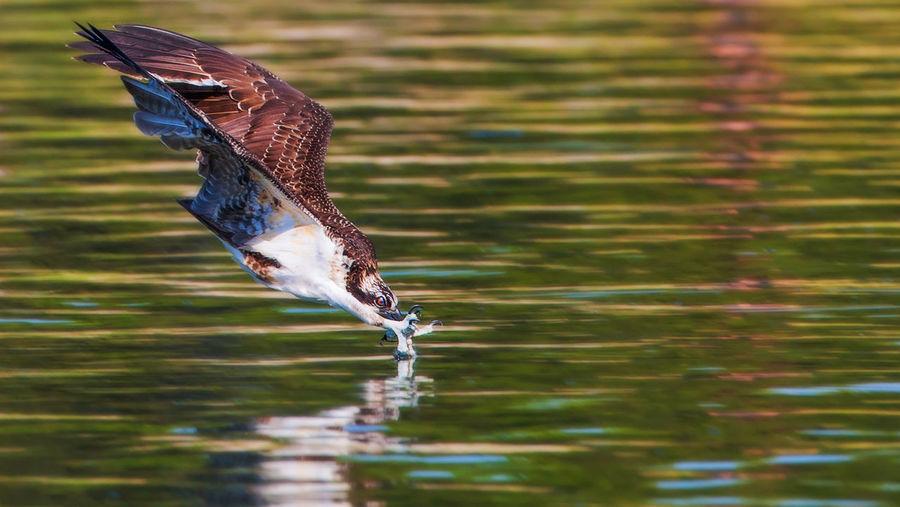 Osprey hunting over rippled lake