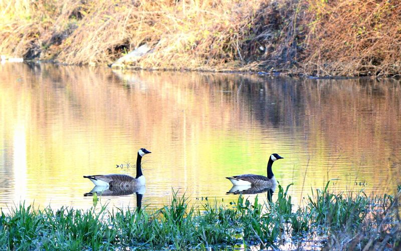 Water Animals In The Wild Lake Bird Animal Wildlife Group Of Animals Animal Vertebrate Plant Animal Themes Nature Grass Reflection No People Two Animals Day Goose Beauty In Nature Outdoors Animal Family