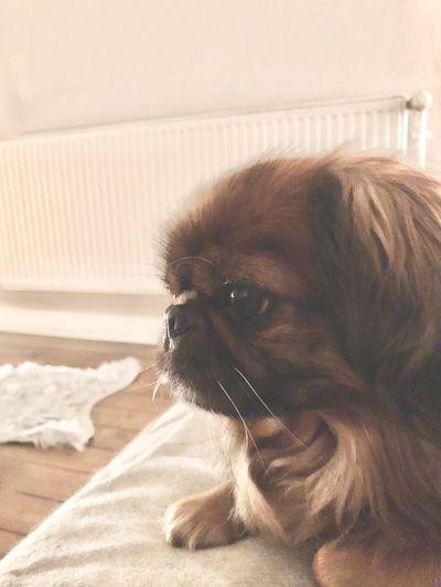 Puppy Dog Sweet Dog Pekinese Pets One Animal Indoors  Domestic Animals Mammal Home Interior Animal Themes
