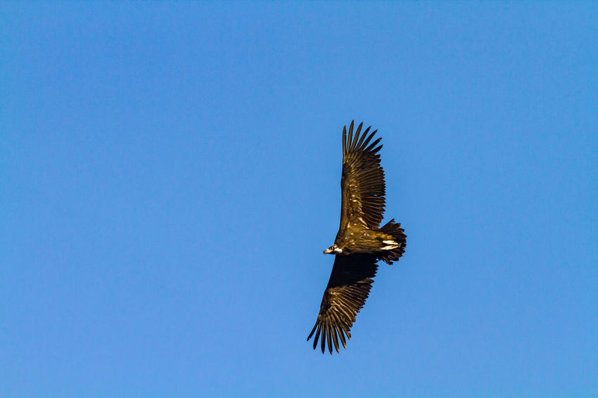 Black vulure in flight Black Vulture Animal Themes Animal Wildlife Animals In The Wild Beauty In Nature Bird Bird Of Prey Blue Clear Sky Copy Space Day Flight Flying Low Angle View Nature No People One Animal Outdoors Sky Spread Wings Vulture Wings
