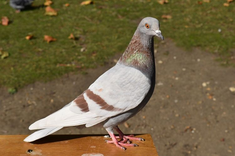 Close-up of pigeon by field