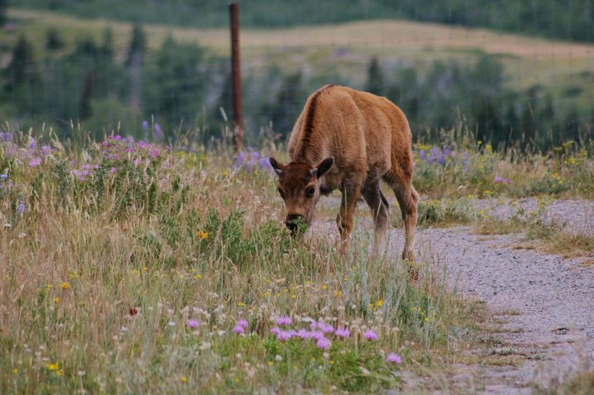 One Animal Animal Wildlife Nature Animals In The Wild Flower Grass Plant Mammal Beauty In Nature Outdoors Animal Themes Grazing Day Standing Bison Baby Bison Calf Waterton Lakes National Park Wildlife Buffalo Alberta EyeEmNewHere Wildflower Animal American Bison The Great Outdoors - 2018 EyeEm Awards