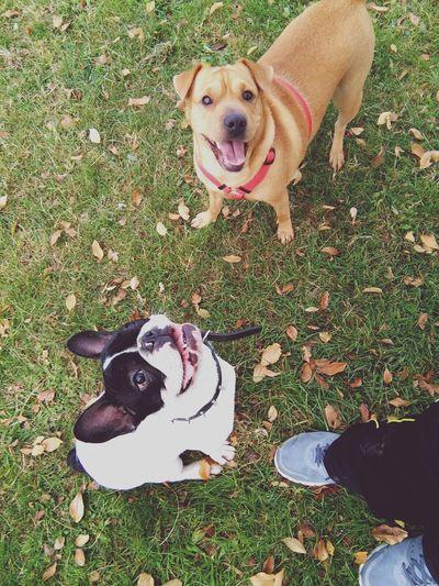 Frenchbulldog Dogslife Dog Love Park Puppy Love