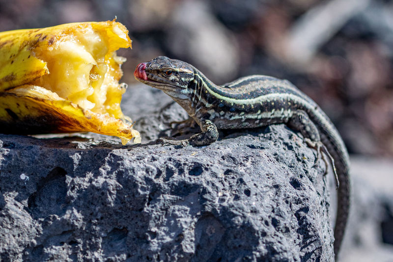 La palma wall lizards, gallotia galloti palmae, tongue licks nose after feasting on discarded banana