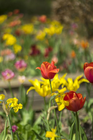 Tulips Tulips Beauty In Nature Close-up Day Flower Flower Head Flowering Plant Focus On Foreground Fragility Freshness Growth Inflorescence Nature No People Outdoors Petal Plant Tulip Vulnerability
