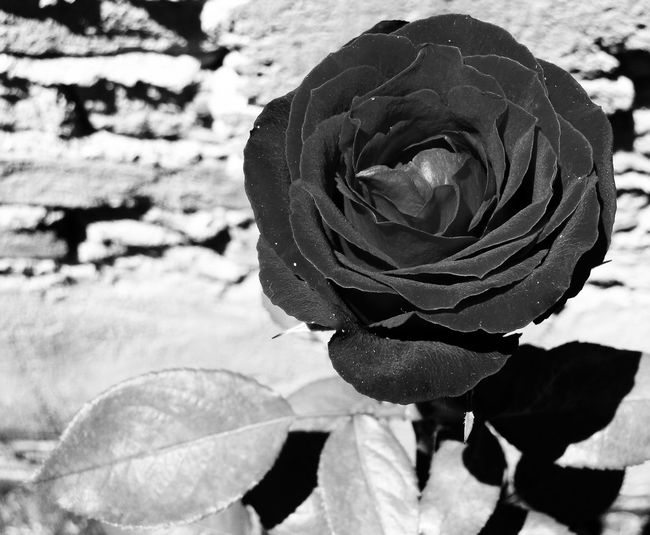 Flower Nature Petal Plant Growth Fragility Rose - Flower Beauty In Nature Close-up Leaf Outdoors Day No People Flower Head Freshness Roses Blackandwhite Black Rose