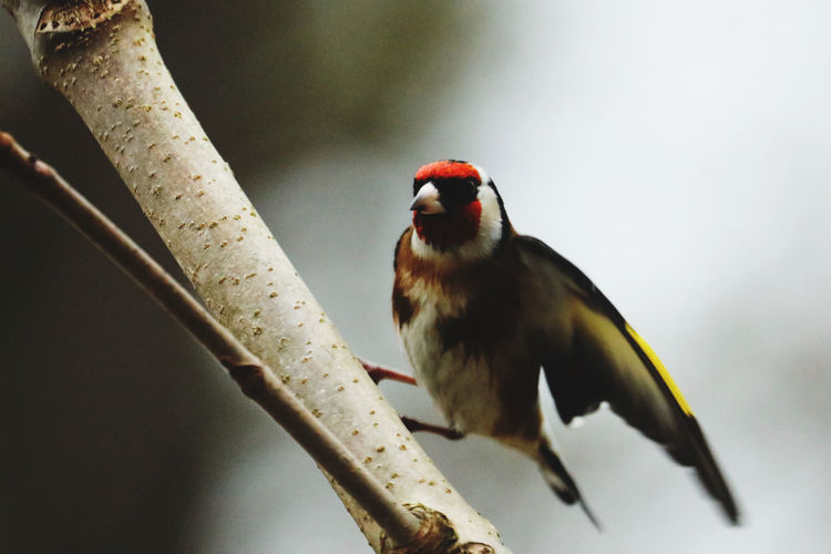 Close-up of golden finch perching on branch