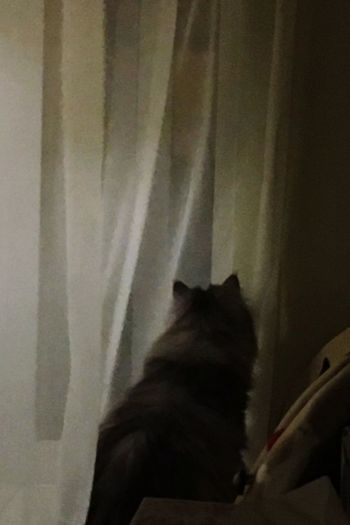 Cat At The Window Curious Cat about the Wind Breeze Night Curtain