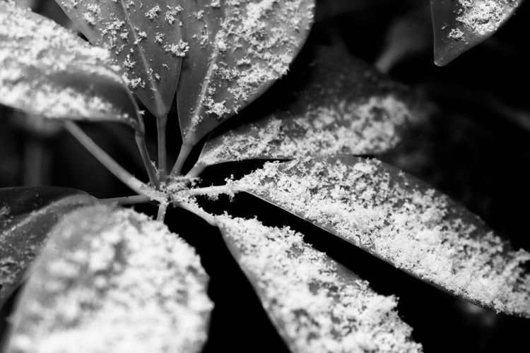 First snowfall of the year. A light dusting on a plant, taken at night. Black & White Flowers,Plants & Garden Plant Snow ❄ Winter Beauty In Nature Black And Whirte Close-up Flash Photography Flower Fragility Freshness Garden Leaf Nature Selective Focus Snow Snow Covered