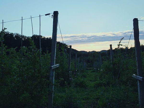 Wine in progress🍇 Vineyard Vine Grapevine Grape Sunset Germany Rebland Baden-Württemberg  Reben Trauben Sonnenuntergang