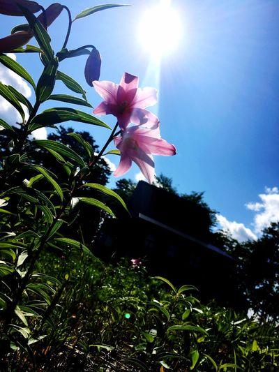 Rosylily Himesayuri Flower Pink Park YAMAGATA