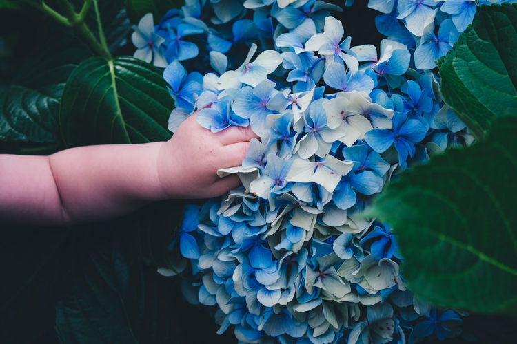 Cropped hand of baby touching hydrangeas blooming outdoors