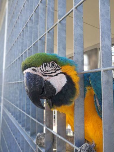 One Animal Cage Social Issues Day Parrot Ara Macao Animal Themes Close-up
