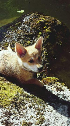 Foxbaby Akita Akitainu  Goldenretriever Australianshepherd Finland