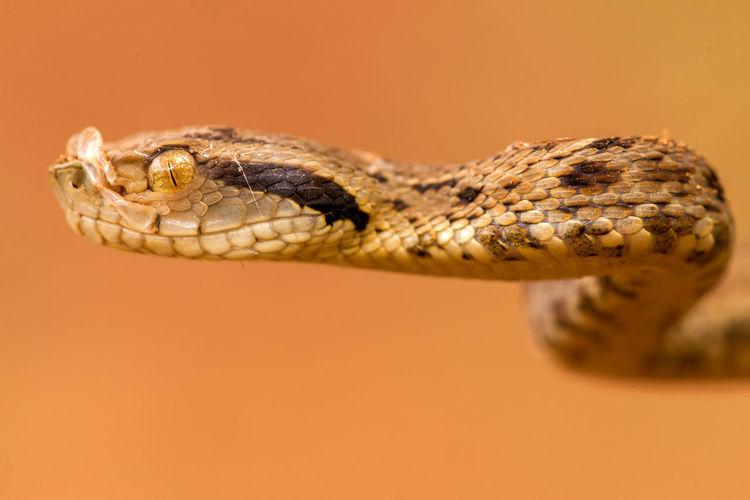 Close-up of snake against orange background