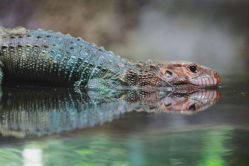 Close-up of lizard swimming in lake