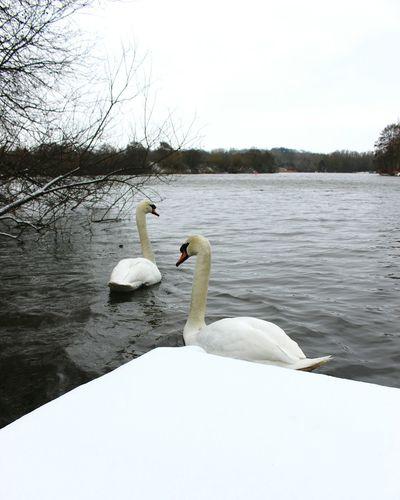 Snow Swans Swan