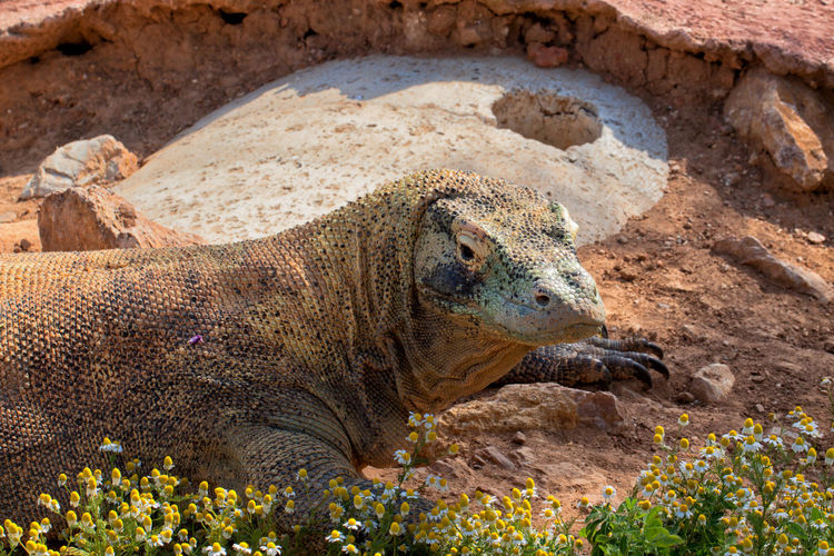 Komodo dragon at the Attica Zoological Park. Komodo Dragon Animal Animal Body Part Animal Head  Animal Themes Animal Wildlife Close-up Day Land Lizard Nature No People One Animal Outdoors Profile View Reptile Rock Rock - Object Side View Solid Vertebrate