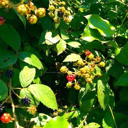 Sariyer Bogurtlen bunlar... Mulberry Blackberry fruit meyve istanbul bahar doga nature