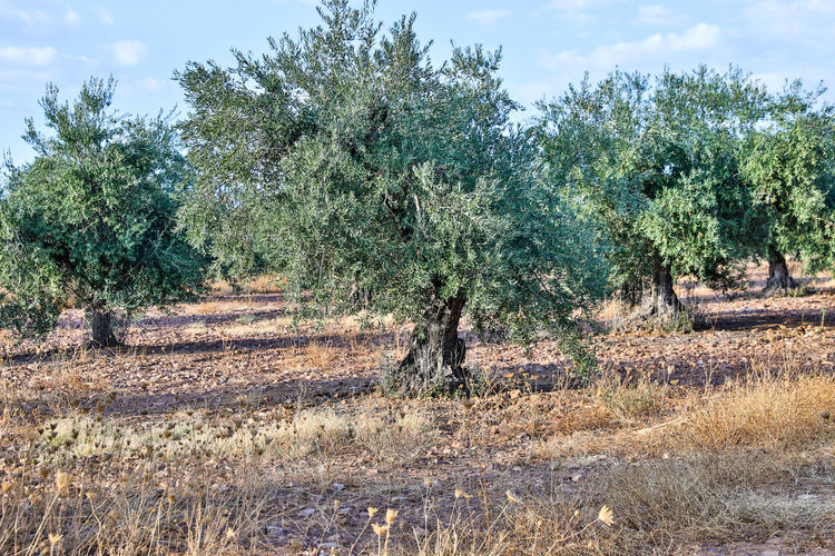 olive tree and